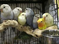 "Beautiful Hand Raised Baby Lovebirds -- ""Little Sweethearts"""