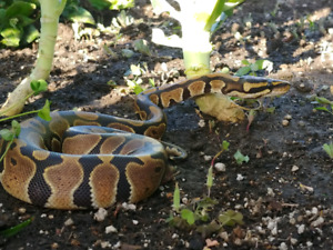 Lost baby ball python and desert kingsnake