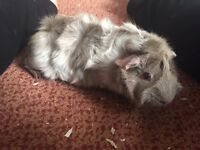 Young Female Young Guinea Pig