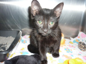 "Kitten - ""Megham Patrick"" is Available for Adoption!"