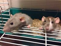 Adorable rats and all you need with them!
