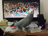 Male African Grey