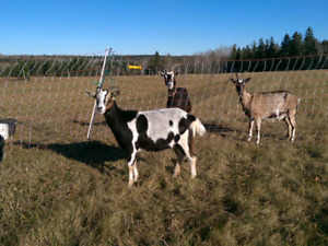 Alpine and Alpine x Boer goats for sale