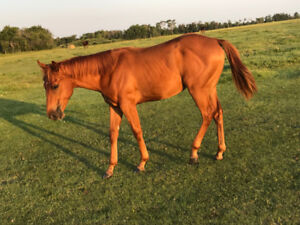 Beautiful All- Around Appendix Filly!