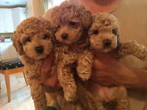 Toy Poodles puppies are looking for amazing family