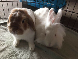 Holland lop dwarf & lionhead bunnies for sale.