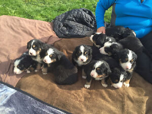 Bernese cross greater Swiss puppies