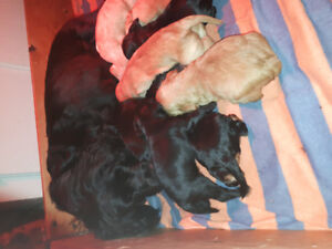 Chiots epagneuil cocker