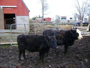 2 black angus cows for sale Belleville Belleville Area image 3