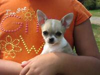 CKC reg. chihuahuas puppies