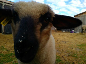 Oxford Ram Lambs for sale
