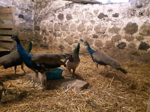 Very Tame Peacocks For Sale