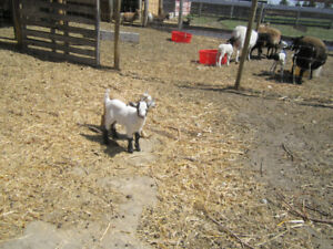 Fixed - Pygmy Goats - Tickity Boo Farm