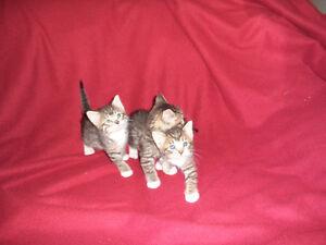 tabby kittens ready for loving homes