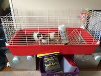 Two loving guinea pigs for sale
