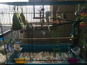 Two Budgies to Rehome!