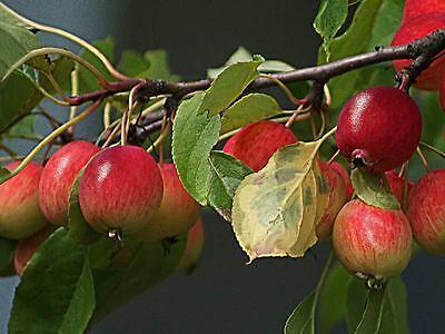 7. Äpfel