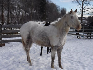 """2013 ApHcc filly """"Im Mighty Brite Lady"""" Williams Lake Cariboo Area image 2"""