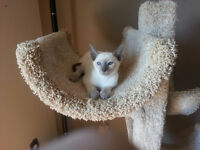 Lilac Point Male Siamese Kitten