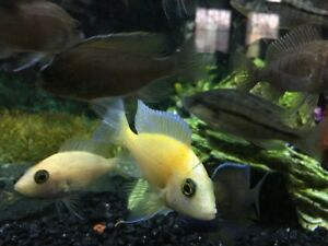 Male Peacock cichlid with two females