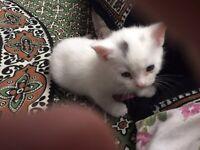 British short hair female kitten for sale