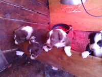 Red Border Collie cross puppies!!!