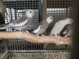 PROVEN PAIRS & SINGLE BREEDER COCKATIELS (NOT FRIENDLY)