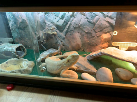 Bearded Dragon Reptiles For Sale Gumtree