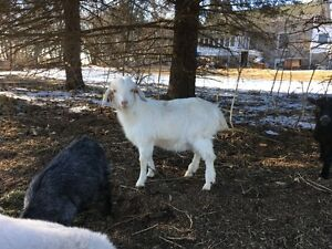 Goats for sale MINI's Various types