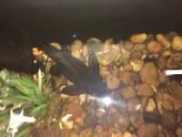 Synodontis Catfish and Common Plec