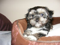 2 Morkie Male puppies