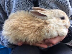 6 Flemish Giant X Giant mix Baby Rabbits - 8 weeks old Stirling Adelaide Hills Preview