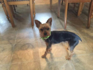 Yorkshire male 2 ans