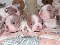 Beautiful, dilute colors, CKC registered, Boston Terriers Pups,