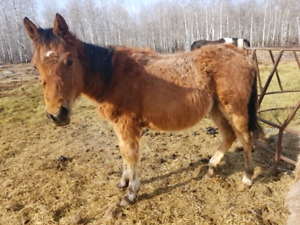 Yearling QH