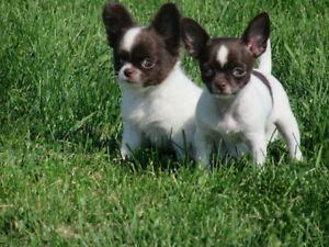 Chihuahua enregistré au CCC/CKC