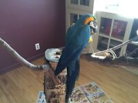 2 yr old blue and gold macaw