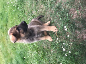 Adorable German Shepherd puppies to be rehomed