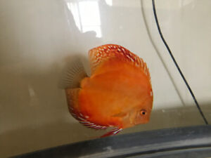 Selling all 4 discus at reasonable price