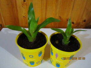 Bromeliads Plant - (2 Plants for $10)