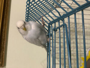 Lost Budgie - White and Blue