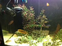 Cichlids - Variety of African qty 10