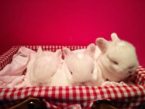 HOLLAND LOPS FOR SALE!