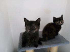 2 feamale kittens