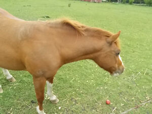 FOUND, LOOKING FOR THIS PONY Chatham-Kent Ontario image 3