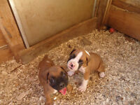 Female Boxer Puppy 10 weeks