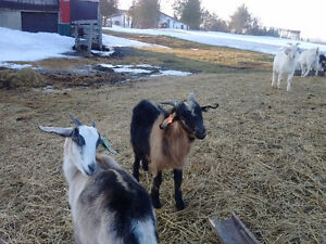 Meat Goats For Sale!