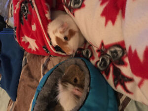 Two male guinea pigs for rehoming