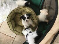 Poodle x Lhasa puppy's
