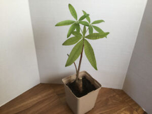 Indoor Houseplant - Money Tree